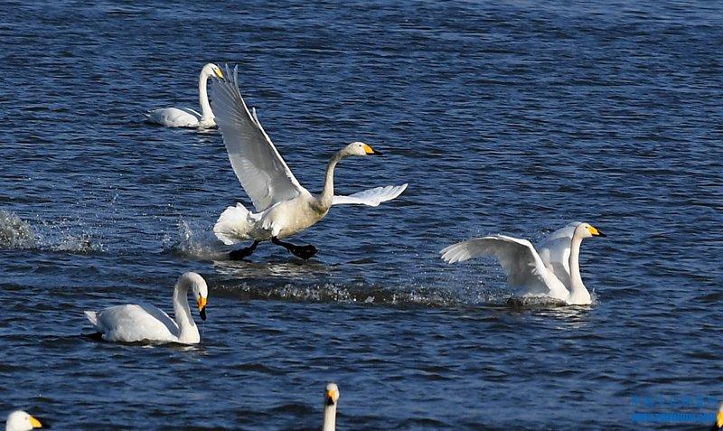 12月6日,白天鹅在三门峡天鹅湖国家城市湿地公园内栖息嬉戏。进入冬季以来,越来越多的白天鹅自西伯利亚南迁,来到豫西三门峡黄河湿地栖息越冬。近年来,随着流域生态环境的好转和黄河水质的明显改善,来三门峡越冬的白天鹅从以前的几十只、数百只,增加到每年一万多只。
