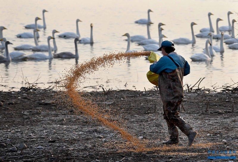 12月7日,工作人员在白天鹅聚集区抛撒玉米。进入冬季以来,越来越多的白天鹅自西伯利亚南迁,来到豫西三门峡黄河湿地栖息越冬。近年来,随着流域生态环境的好转和黄河水质的明显改善,来三门峡越冬的白天鹅从以前的几十只、数百只,增加到每年一万多只。