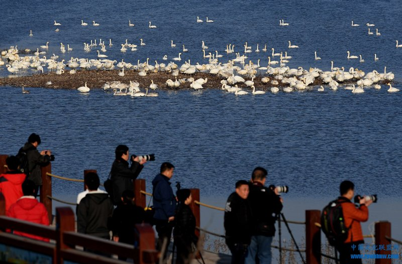 12月6日,游客在三门峡天鹅湖国家城市湿地公园内观赏拍摄白天鹅。进入冬季以来,越来越多的白天鹅自西伯利亚南迁,来到豫西三门峡黄河湿地栖息越冬。近年来,随着流域生态环境的好转和黄河水质的明显改善,来三门峡越冬的白天鹅从以前的几十只、数百只,增加到每年一万多只。